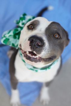 Meet Spanky-ADOPT ME!, an adoptable Pit Bull Terrier looking for a forever home. If you're looking for a new pet to adopt or want information on how to get involved with adoptable pets, Petfinder.com is a great resource.