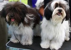 Havanese Club of America | two black and white adult Havanese getting ready for show