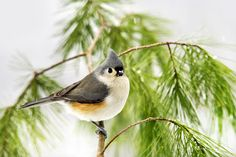 Winter Pine Bird by Christina Rollo. Close-up portrait of a cute Tufted Titmouse perched on a fresh green pine branch, against snowy white background. Two Rivers Photography, competition winner.   http://fineartamerica.com/featured/winter-pine-bird-christina-rollo.html