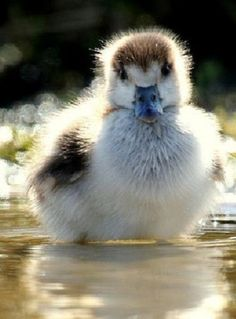 Found on telegraph.co.uk Egyptian Gosling by Danielle Connor