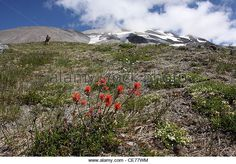 ash lava plant regrowth flower outside of crater Mount St Helens Volcano National monument washington - Stock Image