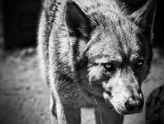 NOTHING IS MORE DANGEROUS THAN A LONE AND HUNGRY WOLF.. THEY WILL DIE IN ATTEMPT TO GET THEIR NEEDS....