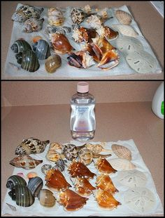 Cleaning and restoring colors in seashells...Rinsed in warm water and soak for 24 hours in bleach water. After totally drying, rub each shell with baby oil or with satin varnish to preserve natural color.  *Another blog says shells can be soaked a week or more in bleach water if needed.