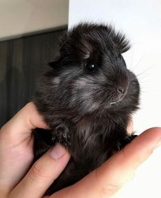Peruvian Guinea Pig – Peruvian guinea pig is considered one of the most attractive breeds. This is also quite rare to find. Peruvian Guinea pig as the name suggests, is native from Peru and a… Cute Baby Animals, Animals And Pets, Funny Animals, Peruvian Guinea Pig, Guinea Pig Breeding, Guniea Pig, Baby Guinea Pigs, Hamsters, Rodents
