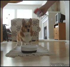 corgi dance! (click to view)