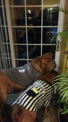 Halloween  2015 . Bordeaux Dog, Maggie Mae, Halloween 2015, Cane Corso, Sadie, French, Dogs, Cute, Animals