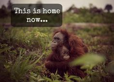 Are YOU Eating the Orangutan Into Extinction?  #LiveForNow #inyourpalm