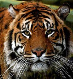 Sumatran Tiger - Our Endangered World