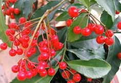 "Coralberry Plant - Ardisia crenata - Excellent, Easy to Grow House Plant -4"""" Pot"