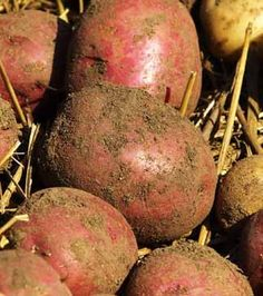 How to grow perfect potatoes in your garden. I just started learning about potatoes. Organic Fertilizer, Organic Gardening, Gardening Tips, Organic Farming, Growing Veggies, Growing Plants, Planting Potatoes, Grow Potatoes, Potato Gardening