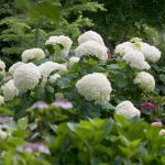This incredibly hardy variety boasts amazing blooms held on thick, sturdy stems that don't flop. Flowers progress from lime green to white and back to green.