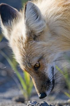 Fox by Dan Newcomb Photography, via Flickr  Would not want to be whatever is going to pop up out of that hole!  :D