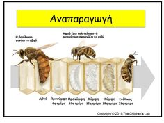 Η ζωή των μελισσών μέσα από πλούσιο εποπτικό υλικό – The Children's Lab Insects, Kindergarten, Preschool, Place Card Holders, Printables, Teaching, Montessori, Animals, Animales