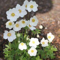 anemone-sylvestris-tovsippa.jpg (360×360)