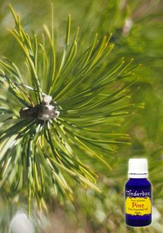Pine Essential Oil (Pinus sylvestris) for aromatherapy, skin care and natural perfumes. Tinderbox: supplying pure essential oils since Pine Essential Oil, Cinnamon Essential Oil, Pure Essential, Cinnamon Uses, Pine Oil, Blue Glass Bottles, Insect Repellent, Tea Tree, Aromatherapy