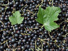 Beeren gelten nicht umsonst als kleine Kraftbündel. Haben sie Saison, sollte man sie reichlich verzehren. Was besonders die schwarze Johannisbeeren gesund macht