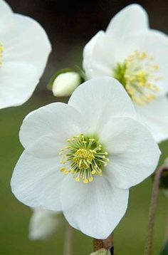 Helleborus niger - likes shade and shelter, flowers winter and spring, prefers alkaline soil