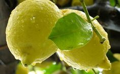 <p>Le limoncello est une liqueur délicieuse à base d'ingrédients simples, mais qui doit êtrepréparée de façon méticuleuse. Avant de révéler le secret de sa recette, il nous semble intéressant de vous en raconter l'histoire. La liqueur de citron est un produit phare de la côtesorrento-amalfitaine et de Capri, mais on …</p>