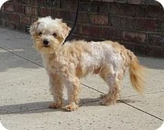 Lathrop, CA - Maltese/Yorkie, Yorkshire Terrier Mix. Meet Jiff, a dog for adoption. http://www.adoptapet.com/pet/15355764-lathrop-california-maltese-mix