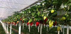 anamur silifke gazipasa cilek yetistiriciligi Alternatif Tarımın En Güzel Örneği: Topraksız Çilek Yetiştiriciliği