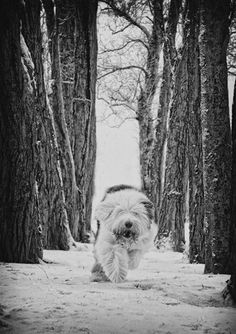 Paul Walker pet photography. OES! Old English Sheepdog