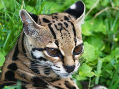 A margay lies in the grass. Margays are one of the most adept at tree climbing of the feline species, and can even descend down tree trunks head first.