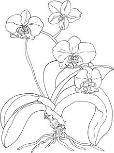orchid drawing outline - Google Search