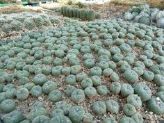 """Texas Cactus (Peyote) .   (""""Lophophora williamsii (Peyote)."""")     Google search: """"Lophophora is a genus of spineless, button-like cacti native to Texas from Presidio county south right along the Rio Grande River to Starr County, Texas.Lophophora williamsii or Peyote is a small, spineless cactus with psychoactive alkaloids, particularly mescaline. Wikipedia.""""      (Pinned both to Nature - P&F-Succulents-*Odd Shapes/Appearances, N.O.C... & Texas Wildflowers...."""")"""