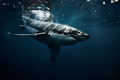 "Carcharodon Carcharias - Isla Guadalupe, Mexico / Остров Гваделупе, Мексика, 2014. Exciting diving with SharkExplorers team / Захватывающие приключения вместе с командой ""ШаркЭксплорерз""  Willyam Bradberry © Vitaliy-Sokol.com   My socials: VK: <a href=""http://vk.com/vitaly_sokol"">VK</a> FB: <a href=""http://www.facebook.com/VitalySokol"">FB</a> LJ: <a href=""http://vitaly-sokol.livejournal.com"">LJ</a>  Thx for watching"