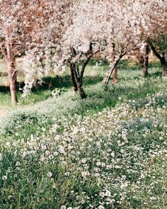 garden aesthetic Cherry Blossom in the - Frühling Wallpaper, Garden Wallpaper, Narnia, Flower Yellow, Spring Aesthetic, The Ancient Magus Bride, Anne Of Green Gables, To Infinity And Beyond, Photos