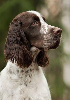 ♔ English springer spaniel puppy dog.