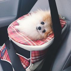 Are we there yet??? #pom #pomeranian