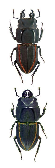 Erichius vittatus; Erichius vittatus sspp. magnificus;