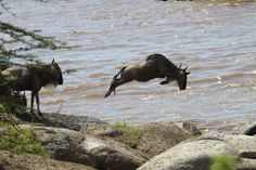 A Wildebeest jumping through the air into the river - shot by ADS Guest