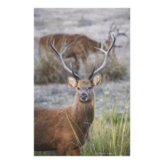 Customizable #Alertness #Animal#Themes #Animals#Hunting #Animals#In#The#Wild #Antler #Color#Image #Day #Environmental#Conservation #Focus#Foreground #Grass #India #Kanha#National#Park #Looking#At#Camera #Madhya#Pradesh #Majestic #Nature #No#People #Outdoors #Photography #Pride #Swamp#Deer #Two#Animals #Vertical #Wildlife The Barasingha or Barasinga (Rucervus Canvas Print available WorldWide on http://bit.ly/2hYQgYf