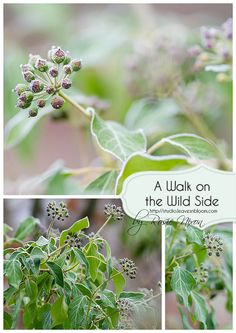 Frosted ivy flower/fruit capsules