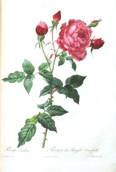 Botanical - Flower - Les Roses 30