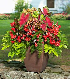 Shade container - caladium, ipomoea, asparagus fern, wax begonia....LOVE this!