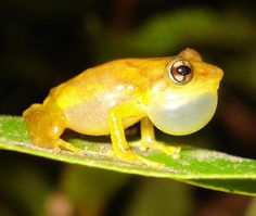 Coquí | An endangered species of frog is benefiting from Puerto Rico's debt. The lowland coquís stands a chance at survival now that industrial projects have come to a halt. | Fauna