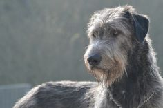 .Irish Wolfhound
