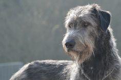 .Irish Wolfhound
