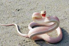 Mamba albina sonriente