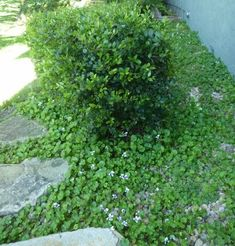 (Viola hederacea).Difficult damp, shady spots at the bottom of the garden can be transformed into a lovely green feature with delicate edib...