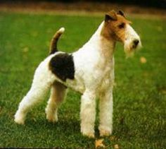*** Fox Terrier - Wirehair 15-20 lbs. Will require stripping of the hair coat, does not like to be left alone with nothing to do. Can be stubborn. If firm, consistent positive training is used, this terrier can excel in obedience.