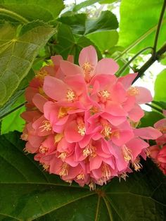 Dombeya Wallichii, the Pink-Ball is a spectacularly large shrub with large heart-shaped leaves and dense heads of little pink flowers which hang from foot long stems. The plant is native to Madagascar, but widely grown as a large garden shrub in Florida. Of the family Sterculiaceae it is cultivated for its beautiful pendulous bright pink flower-balls.