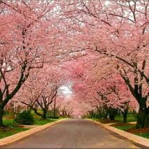 Cherry Blossoms in Kenwood, Chevy Chase, Maryland. Park your car, walk around this beautiful neighborhood, gorgeous homes, pack your picnic lunch.
