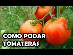 ¿Cómo se podan los tomates? | Plantas Aquaponics, Compost, Garden Plants, Gardening Tips, Backyard, Vegetables, Nature, Ideas Para, Homestead