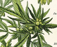 Medicinal Marijuana Poster Print Scientific by IndicaPlateau