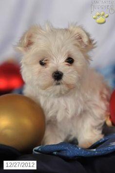 Jaylene - Maltese Puppy for Sale in Millersburg, OH - Maltese - Puppy for Sale