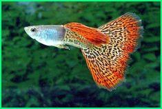 8 Ide Fish Kucing Anjing Ikan Akuarium Ikan Cupang